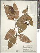 view Vismia confertiflora Spruce ex Reichardt digital asset number 1