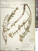 view Hypericum concinnum Benth. digital asset number 1