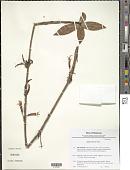 view Agapetes moorei Hemsl. digital asset number 1