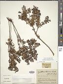 view Gaultheria foliolosa Benth. digital asset number 1