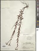 view Hypericum cistifolium Lam. digital asset number 1