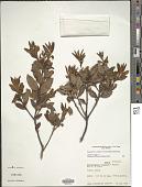 view Comarostaphylis spinulosa (M. Martens & Galeotti) Diggs digital asset number 1