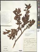 view Vaccinium cereum (L. f.) G. Forst. digital asset number 1