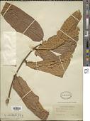 view Vismia macrophylla Kunth digital asset number 1