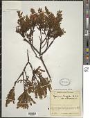 view Hypericum thuyoides Kunth digital asset number 1