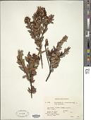 view Vaccinium coriaceum Hook. f. digital asset number 1