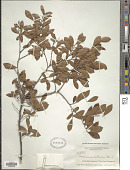 view Batodendron arboreum Nutt. digital asset number 1