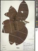 view Marila laxiflora Rusby digital asset number 1