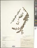 view Vaccinium floribundum var. marginatum H.B.K. digital asset number 1