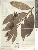 view Dimorphanthera splendens Sleumer digital asset number 1