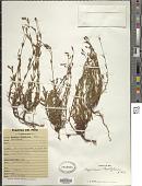 view Hypericum thesiifolium Kunth digital asset number 1
