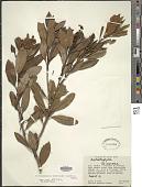 view Arctostaphylos arbutoides (Lindl.) Hemsl. digital asset number 1