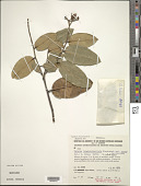 view Caraipa longipedicellata subsp. cordata digital asset number 1