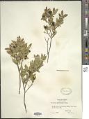 view Vaccinium myrtilloides Michx. digital asset number 1