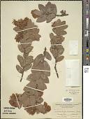 view Arctostaphylos andersonii A. Gray digital asset number 1