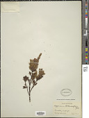 view Hypericum struthiolifolium Juss. digital asset number 1