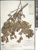 view Lyonia truncata var. montecristina (Urb. & Ekman) Judd digital asset number 1