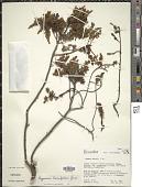 view Hypericum laricifolium Juss. digital asset number 1