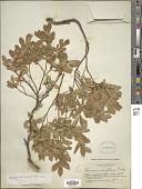 view Vaccinium arbuscula (A. Gray) Merriam digital asset number 1