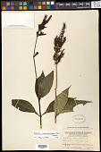 view Justicia acuminatissima (Miq.) Bremek. digital asset number 1