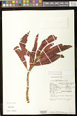 view Columnea calotricha Donn. Sm. digital asset number 1
