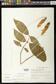 view Columnea strigosa Benth. digital asset number 1