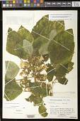 view Chrysothemis panamensis (Seem.) M.M. Mora & J.L. Clark digital asset number 1