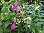 view Vernonia sp. digital asset number 1