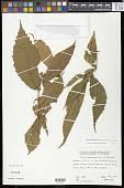 view Gitara nicaraguensis (Hemsl.) Card.-McTeag. & L.J. Gillespie digital asset number 1