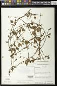 view Pachycaulos nummularia (Hanst.) J.L. Clark & J.F. Sm. digital asset number 1