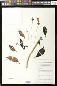 view Nematanthus corticola Schrad. digital asset number 1