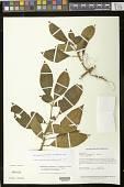 view Lesia savannarum (C.V. Morton) J.L. Clark & J.F. Sm. digital asset number 1