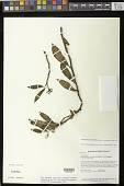 view Codonanthopsis anisophylla (Feuillet & L.E. Skog) Chautems & Mat.Perret digital asset number 1