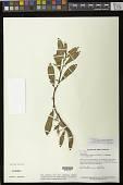 view Paradrymonia anisophylla Feuillet & L.E. Skog digital asset number 1