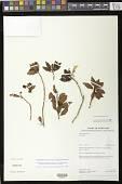 view Codonanthopsis calcarata (Miq.) Chautems & Mat.Perret digital asset number 1