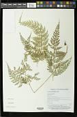 view Leucostegia pallida (Mett. ex Kuhn) Copel. digital asset number 1