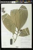 view Pouteria calistophylla (Standl.) Baehni digital asset number 1