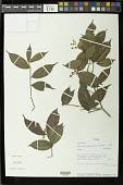 view Myrcia splendens (Sw.) DC. digital asset number 1