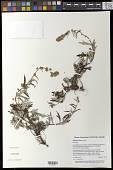 view Artemisia tilesii Ledeb. digital asset number 1