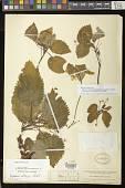 view Niphaea oblonga Lindl. digital asset number 1