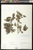 view Codonanthopsis uleana (Fritsch) Chautems & Mat.Perret digital asset number 1
