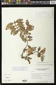 view Codonanthopsis crassifolia (H. Focke) Chautems & Mat.Perret digital asset number 1