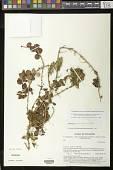 view Codonanthopsis erubescens (Wiehler) Chautems & Mat.Perret digital asset number 1