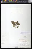 view Phinaea multiflora C.V. Morton digital asset number 1
