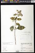 view Sphaerorrhiza sarmentiana (Gardner ex Hook.) Roalson & Boggan digital asset number 1