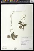 view Gloxinia erinoides (DC.) Roalson & Boggan digital asset number 1