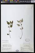 view Achimenes fimbriata Rose ex C.V. Morton digital asset number 1