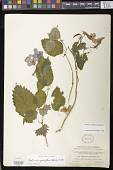 view Achimenes grandiflora (Schiede) DC. digital asset number 1