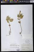 view Achimenes heterophylla (Mart.) DC. digital asset number 1