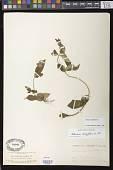 view Achimenes longiflora DC. digital asset number 1